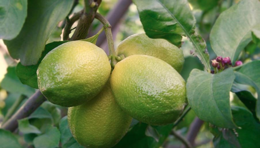 arbol de limon