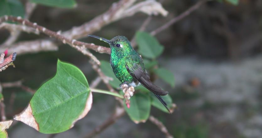 colibríes de méxico