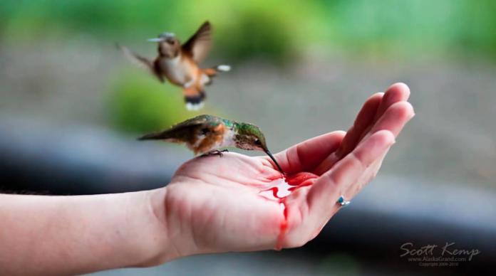 alimentos para colibrí