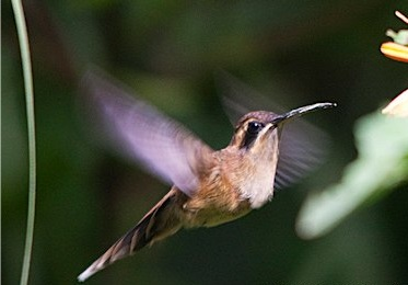stripe_throated_hermit_01