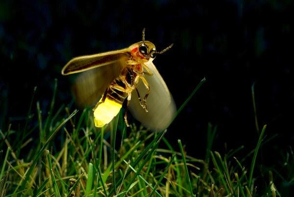 Lampyridae luciernagas