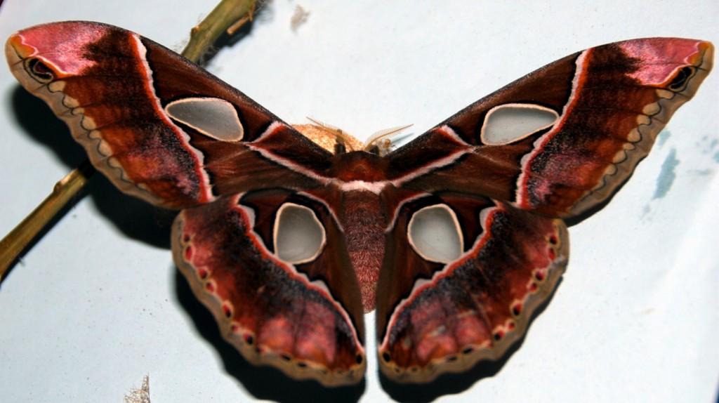 Mariposa de los 4 espejos