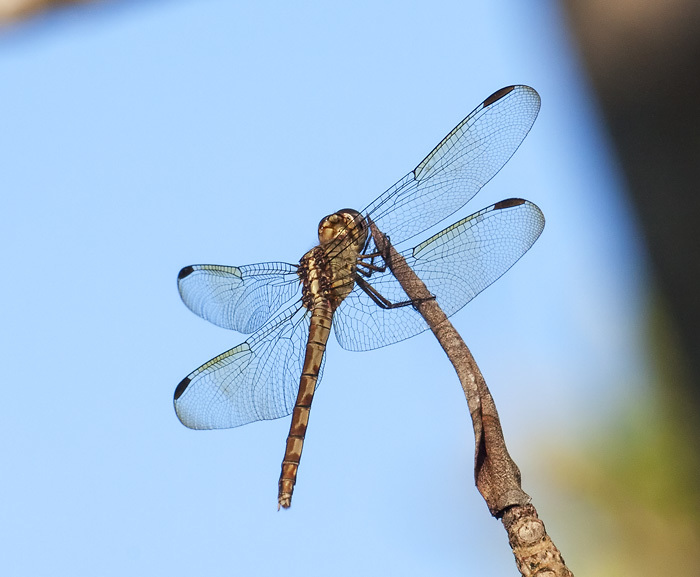 (Orthemis ferruginea)