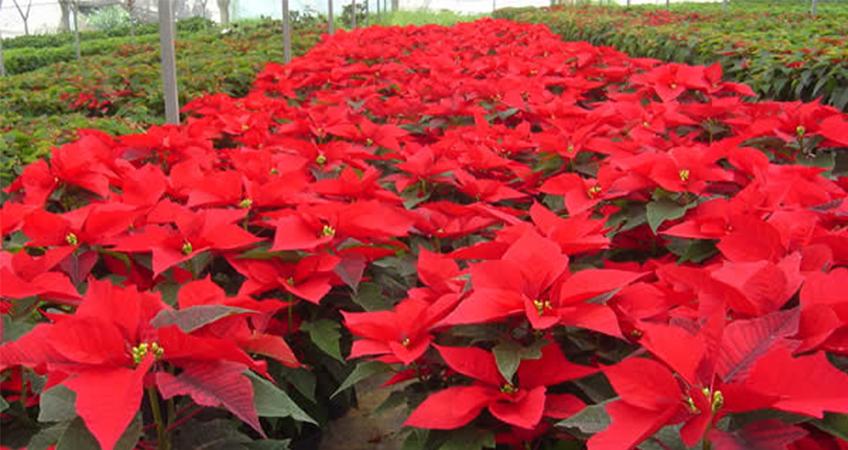 Todo Sobre La Nochebuena El Color Rojo Que Engalana Esta Temporada