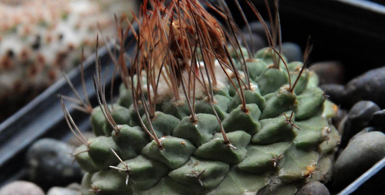 Buscas un regalo navide o original regala una planta en for Cactus navideno