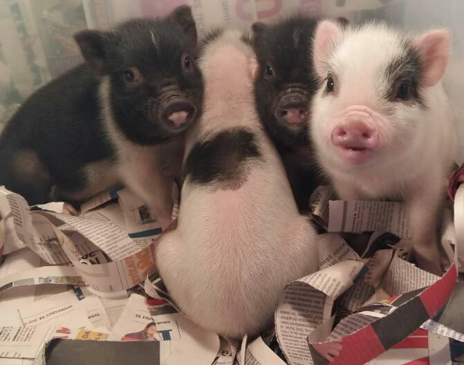 mini pigs mexico