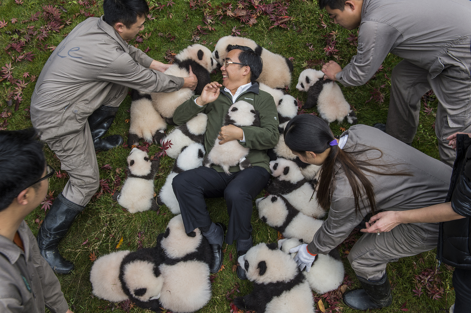 "Zhang Hemin—""Papa Panda"" to his staff—poses with cubs born in 2015 at Bifengxia Panda Base. ""Some local people say giant pandas have magic powers,"" says Zhang, who directs many of China's panda conservation efforts. ""To me, they simply represent beauty and peace."""