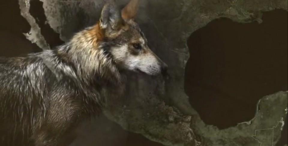 Rehabilitación Del Lobo Gris En Proceso: El Lobo Gris Mexicanos Ya No Está En Peligro De Extinción