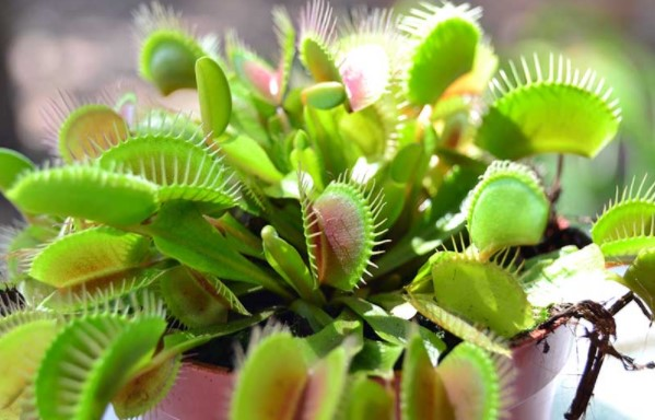 plantas-carnivoras2